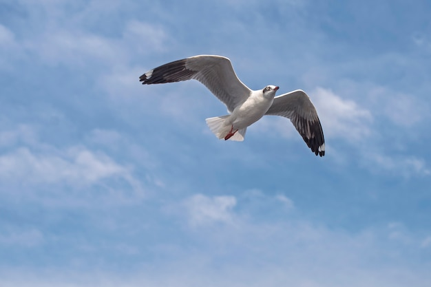 Seagull flying Premium Photo