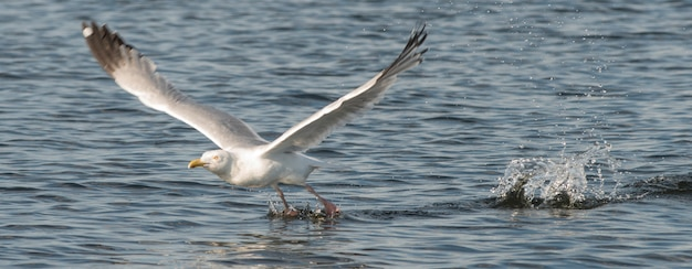 Seagull skimming over the water, lake of the woods, ontario, canada Premium Photo