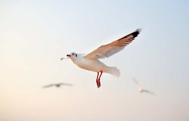 Seagulls flying in the sky at sunset. Premium Photo