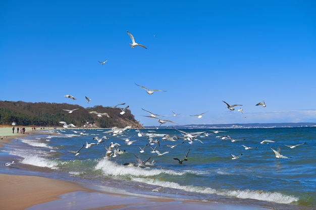 Seagulls hunt for small fish in the shallow baltic sea next to baabe village on island rugen Premium Photo