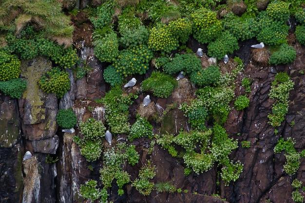 Чайки стоят на вертикальной стене скал, растительности и местных цветов северной исландской заповедной зоны. Premium Фотографии