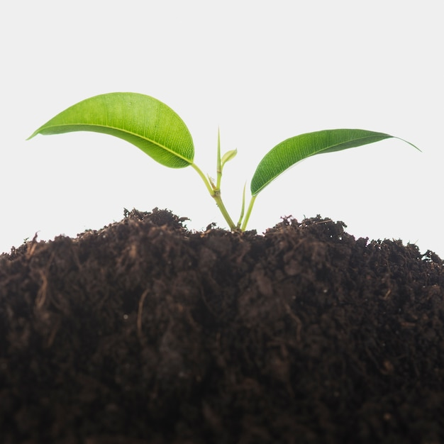 Seedling growing in the soil isolated over white background Free Photo