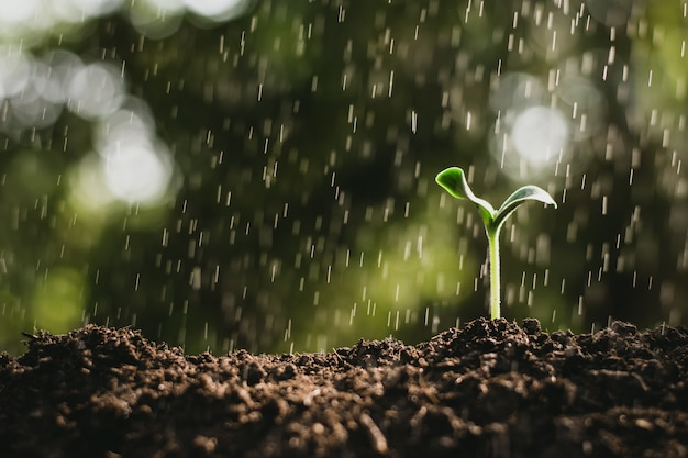 Seedlings are growing while rain is falling. Premium Photo