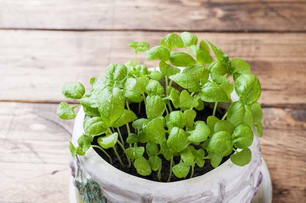 Seedlings of basil in a ceramic pot. green seedlings of fragrant grass, young plants, leaves and gardening. Premium Photo