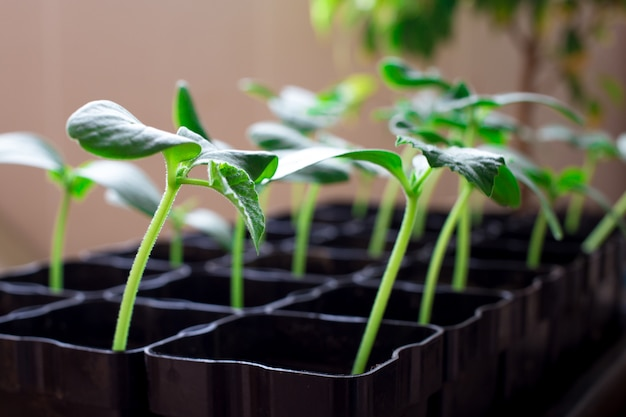 Seedlings of cucumbers, small sprouts in black pots, green young plants Premium Photo