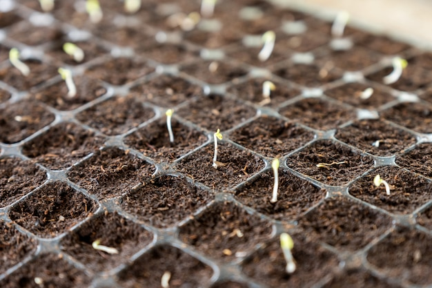 Seedlings sprout growing on soil in tray Premium Photo