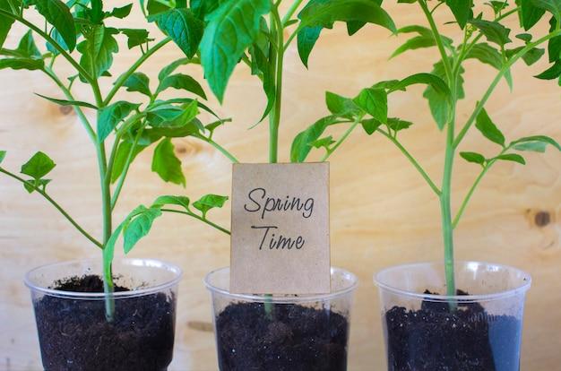Seedlings of tomatoes spring Premium Photo