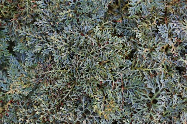Selaginella erythropus в саду. вид сверху. Premium Фотографии