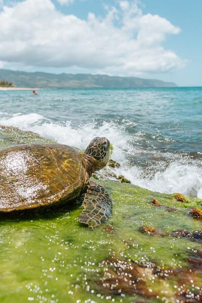 晴れた日に海の近くの茶色の太平洋リドリーウミガメの選択的なクローズアップショット 無料写真