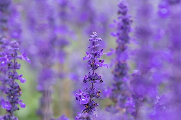 Selective focus close up beautiful purple lavender in the fields for wedding or beauty background Premium Photo