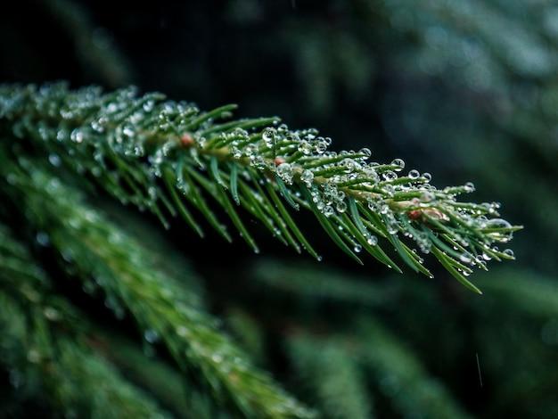 Селективный фокус крупным планом выстрел из зеленой сосновой ветки с каплями воды Бесплатные Фотографии