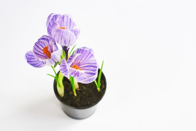 Selective focus on flowers. young plants growing out of soil. violet crocus in pot on the white. final result of transplanting plant at home Premium Photo