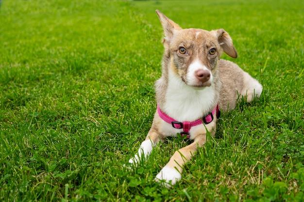 緑の公園を散歩するセレクティブフォーカス、幸せな大きな光の子犬。品種間のクロス Premium写真