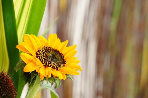 흐린 배경으로 햇빛 아래 필드에 해바라기의 선택적 초점 무료 사진