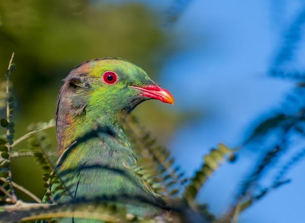 ニュージーランドのモリバトの選択的焦点 無料写真