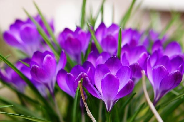 Colpo di messa a fuoco selettiva di crochi bella primavera viola Foto Gratuite