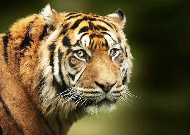Colpo di messa a fuoco selettiva della faccia della tigre del bengala Foto Gratuite