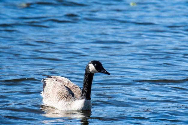 Colpo di messa a fuoco selettiva di un'oca del canada su uno sfondo blu del lago Foto Gratuite