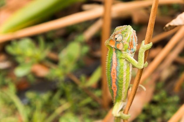 Colpo di messa a fuoco selettiva di un camaleonte colorato su un sottile pezzo di legno nella foresta Foto Gratuite