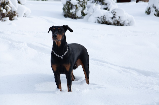 Selective focus shot of a cute black dobermann wandering in the winter wonderland Free Photo