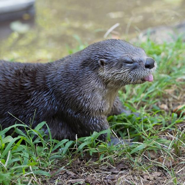 Colpo di messa a fuoco selettiva di una lontra di fiume nordamericana carina sdraiato sull'erba Foto Gratuite