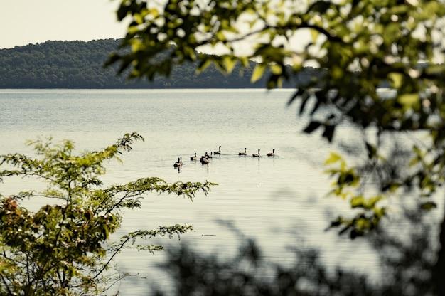 Colpo di messa a fuoco selettiva di anatre su un lago contro una montagna di fogliame Foto Gratuite