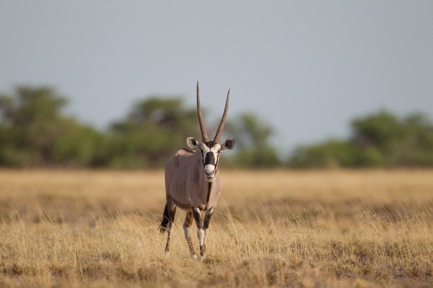 Selective focus shot of a gemsbok walking in a dry grassy field while looking towards Free Photo
