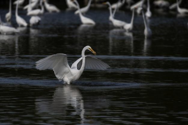 Colpo di messa a fuoco selettiva di un airone bianco maggiore che spiega le sue ali sul lago Foto Gratuite