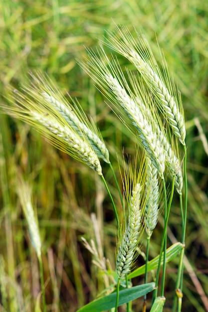 Colpo di messa a fuoco selettiva di grano verde sotto il vento Foto Gratuite