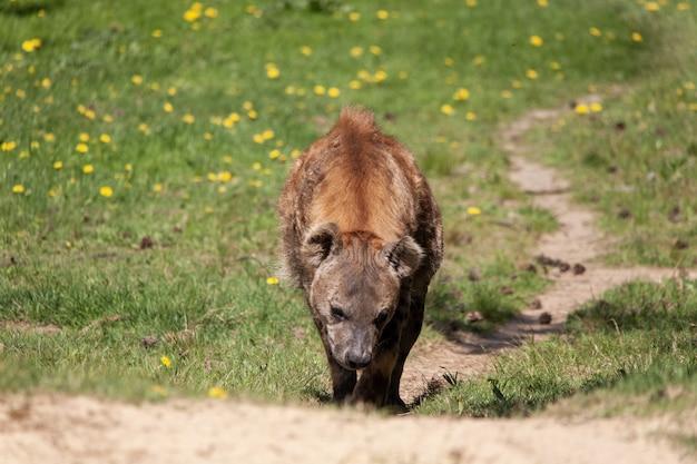 Messa a fuoco selettiva di una iena che cammina su per la collina in uno zoo olandese Foto Gratuite