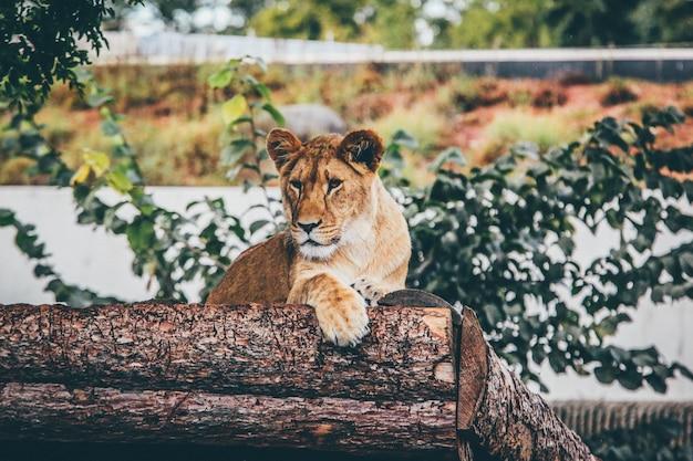 Colpo di messa a fuoco selettiva di una leonessa appoggiata su un tronco d'albero sullo sfocato Foto Gratuite