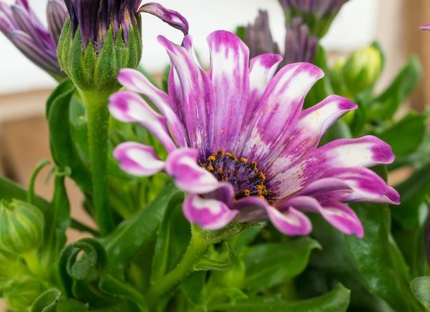 美しいピンクのアフリカのデイジーの花の選択的なフォーカスショット 無料写真