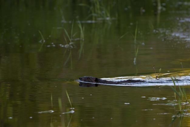 湖のビーバーの選択的なフォーカスショット 無料写真