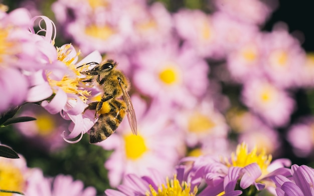 小さなピンクのアスターの花の蜜を食べるミツバチのセレクティブフォーカスショット 無料写真