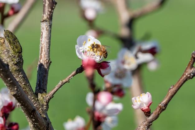 Селективный снимок пчелы, собирающей нектар с цветка абрикоса на дереве Бесплатные Фотографии