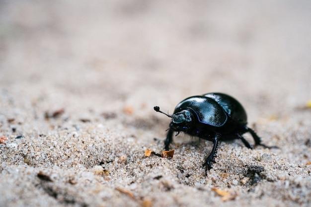 Селективный снимок черного навозного жука на песчаном лугу в голландском лесу Бесплатные Фотографии