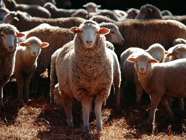 国内の羊の束のセレクティブフォーカスショット 無料写真