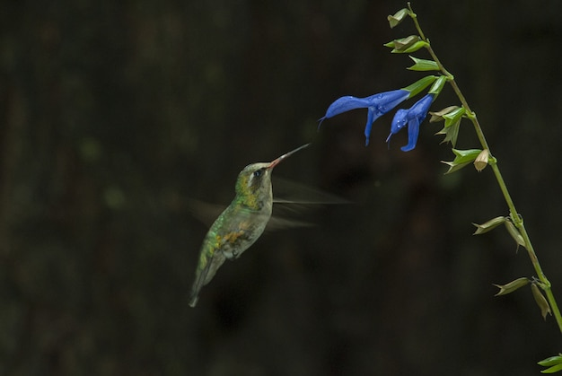 파란 꽃의 맛을 냄새 맡는 귀여운 콜리 브리의 선택적 초점 샷 무료 사진