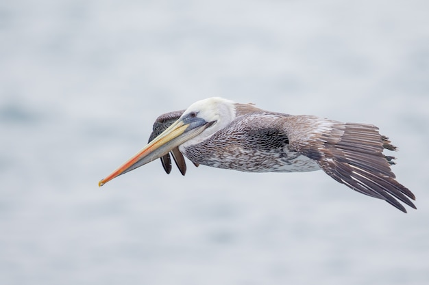 飛んでいるペリカンのセレクティブフォーカスショット 無料写真