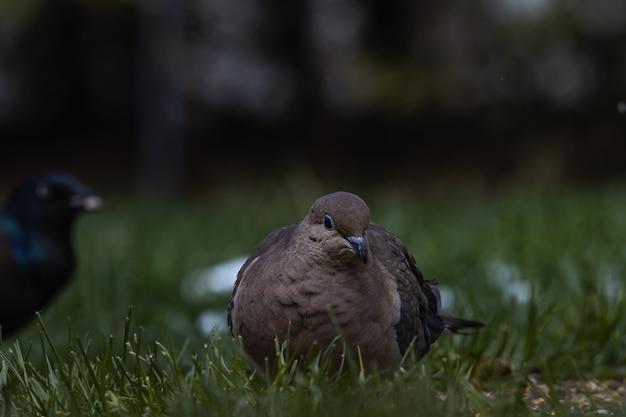 Селективный снимок голубя и ворона на покрытом травой поле Бесплатные Фотографии