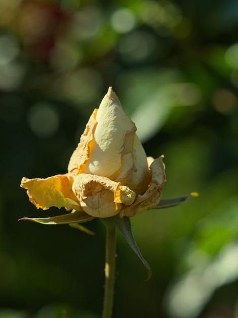 정원에서 피는 장미의 선택적 초점 샷 무료 사진