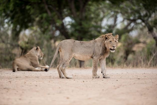 地面に立っている若い雄ライオンの選択的なフォーカスショット 無料写真