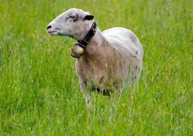 緑の芝生のフィールドで若い羊の選択的なフォーカスショット 無料写真