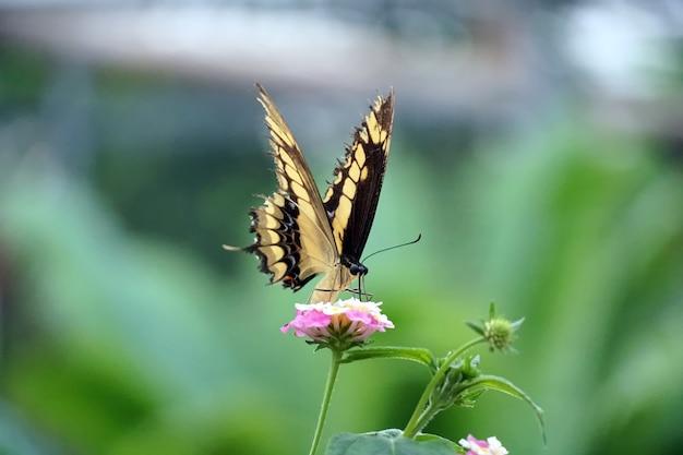 Снимок селективной фокусировки бабочки-парусника из старого света, сидящей на светло-розовом цветке Бесплатные Фотографии