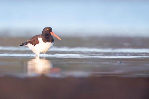 호수에서 Oystercatcher의 선택적 초점 샷 무료 사진