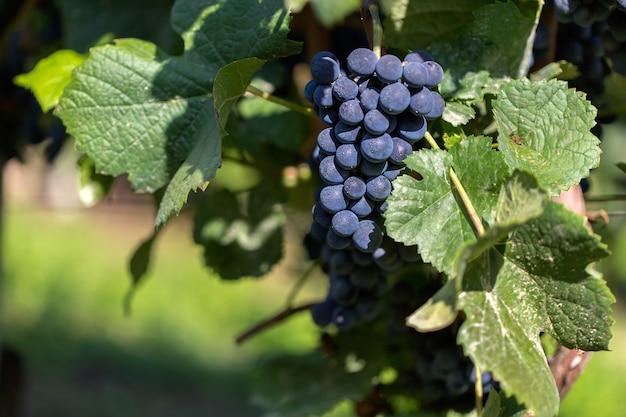 Селективный снимок винограда, прикрепленного к ветке в дневное время Бесплатные Фотографии