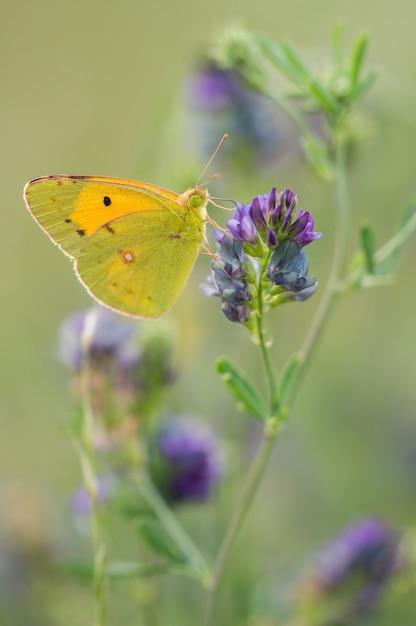 Селективный снимок зеленой и желтой бабочки на цветке лаванды Бесплатные Фотографии