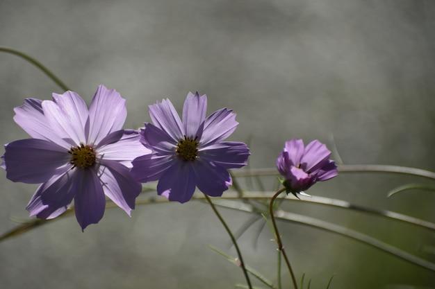 Селективный фокус выстрел из фиолетовых цветущих растений космос bipinnatus, растущих в середине леса Бесплатные Фотографии