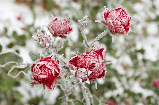 프 로스트와 빨간 장미의 선택적 초점 샷 무료 사진