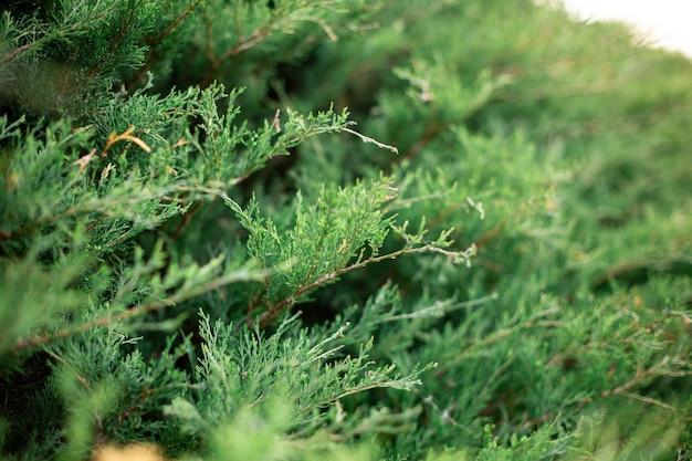 Thuja常緑樹の枝の選択的なフォーカスショット 無料写真